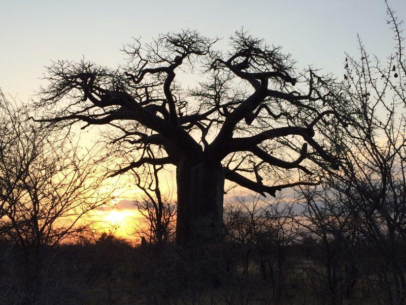 Baobab at Gweta