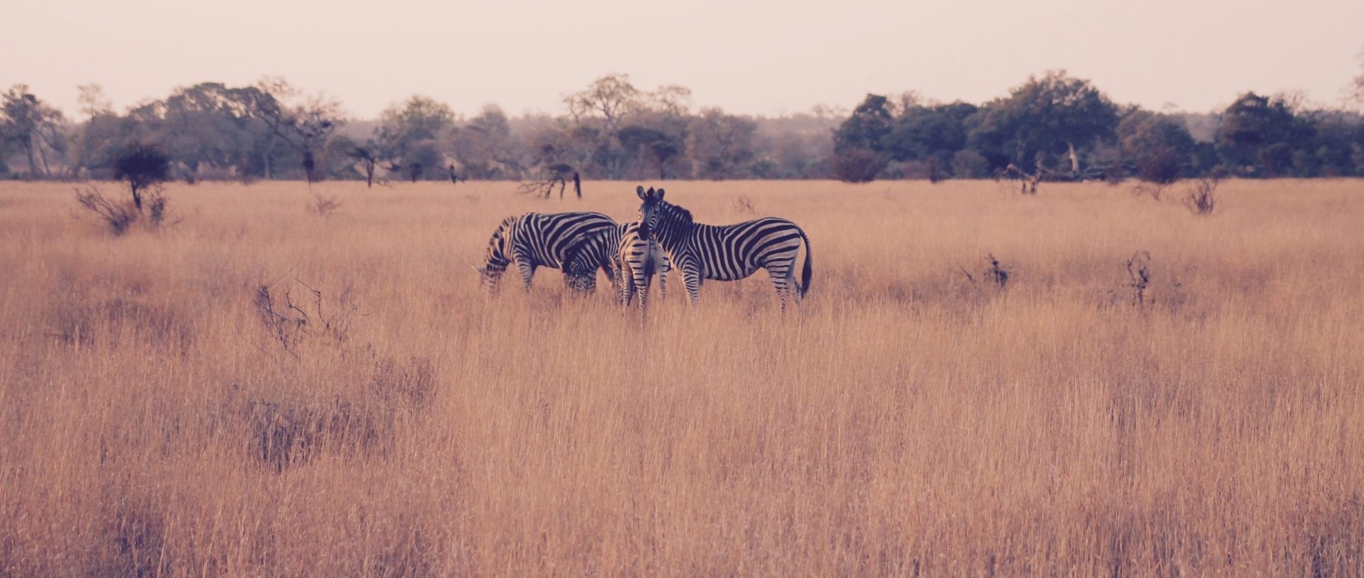 zebras in KNP No W