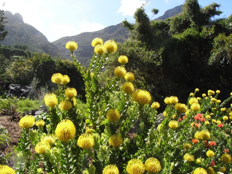Kirstenbosch Botanical garden, photo Baobabwe