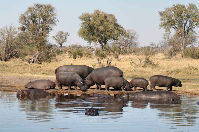 Hippos Kwai