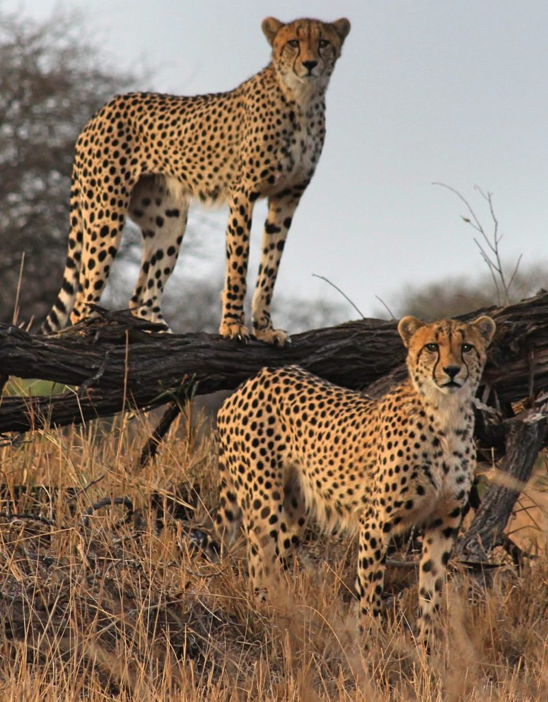 Two Cheetahs By Baobabwe